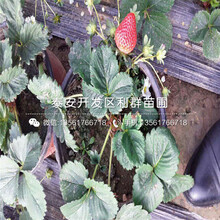 美香莎草莓苗、美香莎草莓苗什么价钱图片
