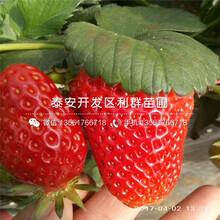 新品种妙香七号草莓苗批发图片