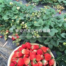 美德莱特草莓苗种植方法、美德莱特草莓苗多少钱一棵图片