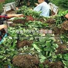 附件哪里有出售草莓苗、出售草莓苗价格是多少图片