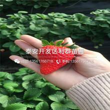 批发白色草莓苗、白色草莓苗价格多少图片