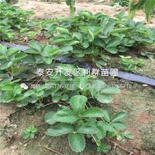 章姬草莓苗哪里便宜、章姬草莓苗价格及报价图片