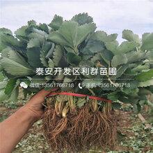 小白草莓(mei)苗基地報價圖片