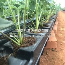 白色草莓苗、白色草莓苗市场价格图片