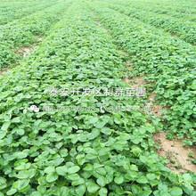 山东新品种草莓苗出售价格图片