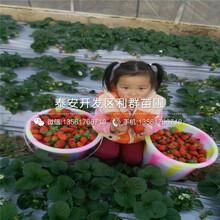 太空2008草莓苗出售基地、2019年太空2008草莓苗价格图片