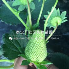 美香莎草莓苗出售基地、美香莎草莓苗多少钱一棵图片