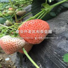 京郊小白草莓苗价格、2019年京郊小白草莓苗价格及报价图片