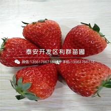 哪里有天仙醉草莓苗批发图片