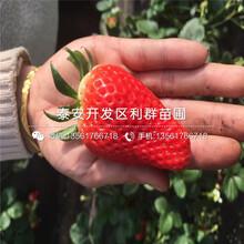 山东白雪天使草莓苗、山东白雪天使草莓苗价位图片