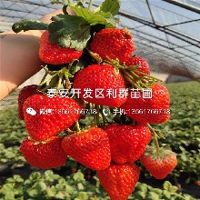 红脸颊草莓苗出售价格、红脸颊草莓苗批发基地图片