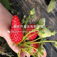 桃熏白草莓苗、桃熏白草莓苗市场价格图片