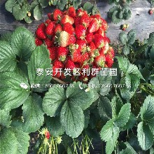 四季草莓苗基地价钱图片