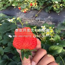 大白草莓苗、2019年大白草莓苗报价图片