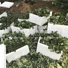 山东宁玉草莓苗出售价格是多少图片