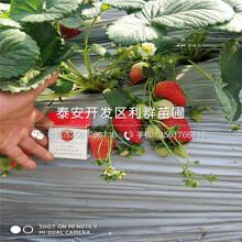 宁玉草莓苗价格、2019年宁玉草莓苗价格图片