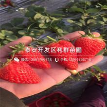 新品种小白草莓苗、2019年小白草莓苗价格图片