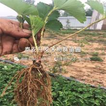 2019年山东草莓苗品种图片