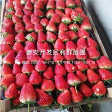 批发草莓苗零售价格图片