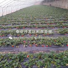 山东白雪公主草莓苗出售价格、山东白雪公主草莓苗多少钱一棵图片