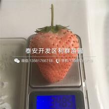 山东妙香7号草莓苗、山东妙香7号草莓苗市场价格图片