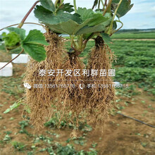 山东四季美德莱特草莓苗、四季美德莱特草莓苗出售图片