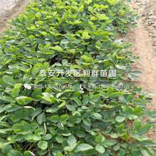求购小白草莓苗、小白草莓苗价格多少图片