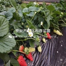 山东佐贺清香草莓苗、佐贺清香草莓苗多少钱一棵图片
