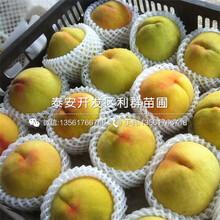 山东永莲蜜桃9号桃苗新品种、山东永莲蜜桃9号桃苗多少钱一棵图片