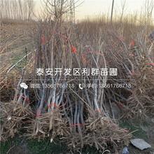 出售冬黄桃树苗、冬黄桃树苗多少钱一棵图片