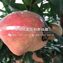 山东黄贵妃桃苗出售价格是多少图片