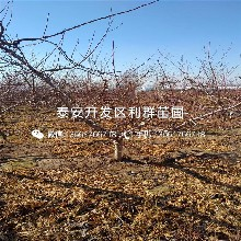 黄金蜜2号黄桃苗品种图片