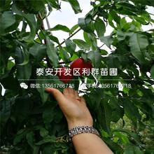 山东黑桃桃苗春季价格图片
