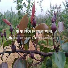 3公分梨树苗批发基地、3公分梨树苗价格及报价图片
