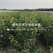 全红梨苗出售图片