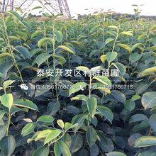 红安久梨树苗批发价格、2019年红安久梨树苗价格图片