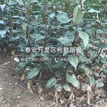 翠玉梨苗价格图片