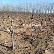 全红梨树苗品种图片