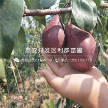 圆黄梨树苗价格、圆黄梨树苗多少钱一棵图片
