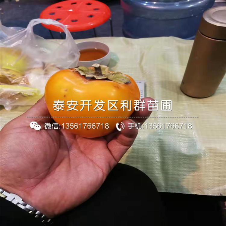 甜柿苗、甜柿苗出售价格