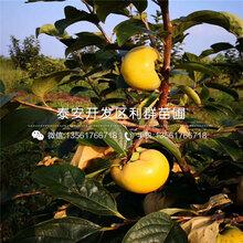 八月红柿子苗、八月红柿子苗新品种