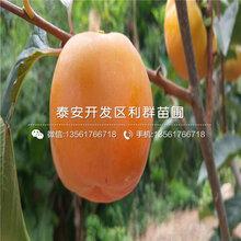 甜脆柿子树苗价格、甜脆柿子树苗出售