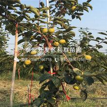 火晶柿子苗、火晶柿子苗品种