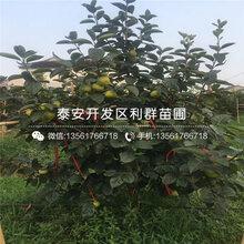 哪里有日本斤柿子树苗、日本斤柿子树苗价格多少