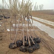 富平尖柿树苗新品种、富平尖柿树苗多少钱一棵