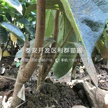 太秋甜柿子苗出售基地、太秋甜柿子苗价格及报价