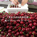 出售罗亚理樱桃苗、罗亚理樱桃苗价格
