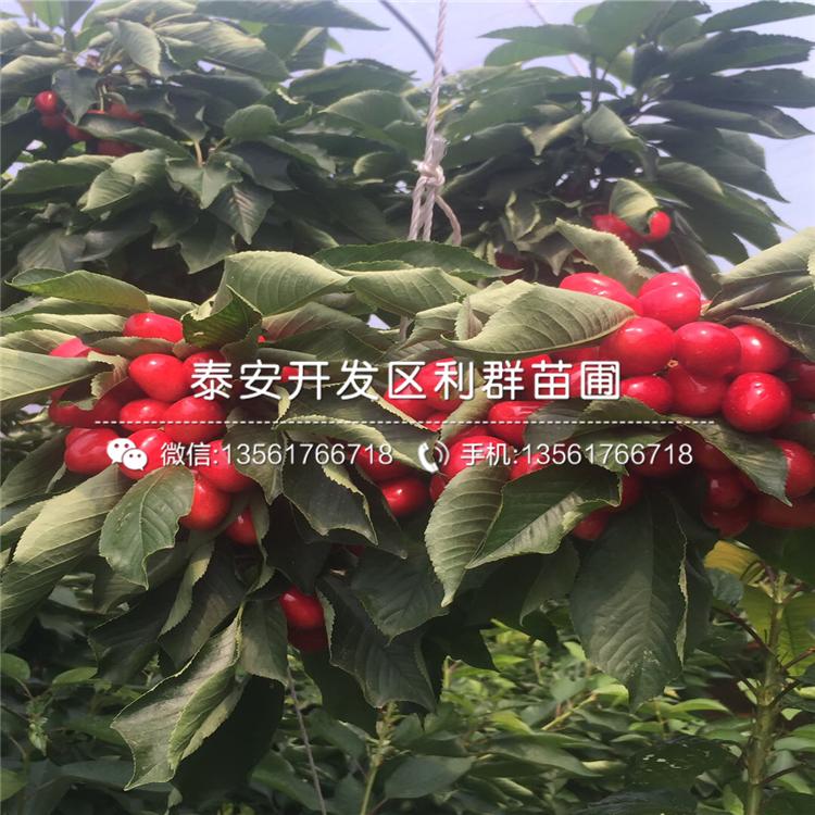 批发美早大樱桃树苗、美早大樱桃树苗价格及报价