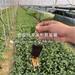 出售早罗宾樱桃树苗、早罗宾樱桃树苗价格