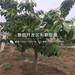 矮化吉塞拉櫻桃樹苗批發、矮化吉塞拉櫻桃樹苗價格及報價